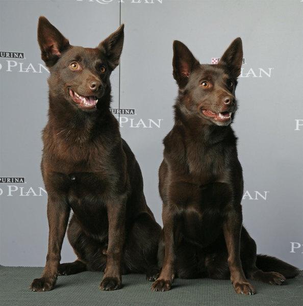 Australian Kelpie wow my Jake looks exactly like the dog on the right.