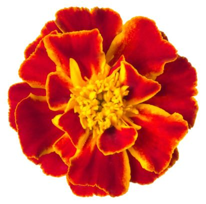 Tagetes Oil - Clear and Comforting.  Tagetes has many varieties throughout the world. Sometimes called the Mexican Marigold, Incan Marigold, Peruvian Black Mint, it is most commonly recognised as African Marigold. It has notes of citrus, mint and basil, and is sometimes used to flavour food.