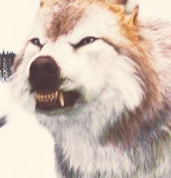 twilight leah wolf - Google'da Ara  Don't like twilight but the wolves are cool