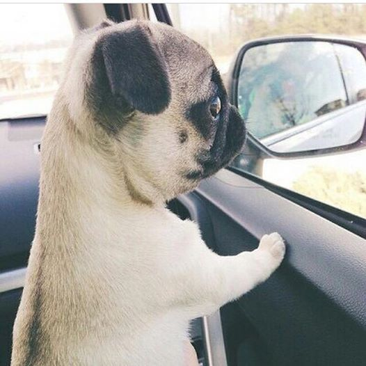 Cute pug pup side shot!  #adorable #puppy #sweet http://yourpetclip.com/tag/pug/