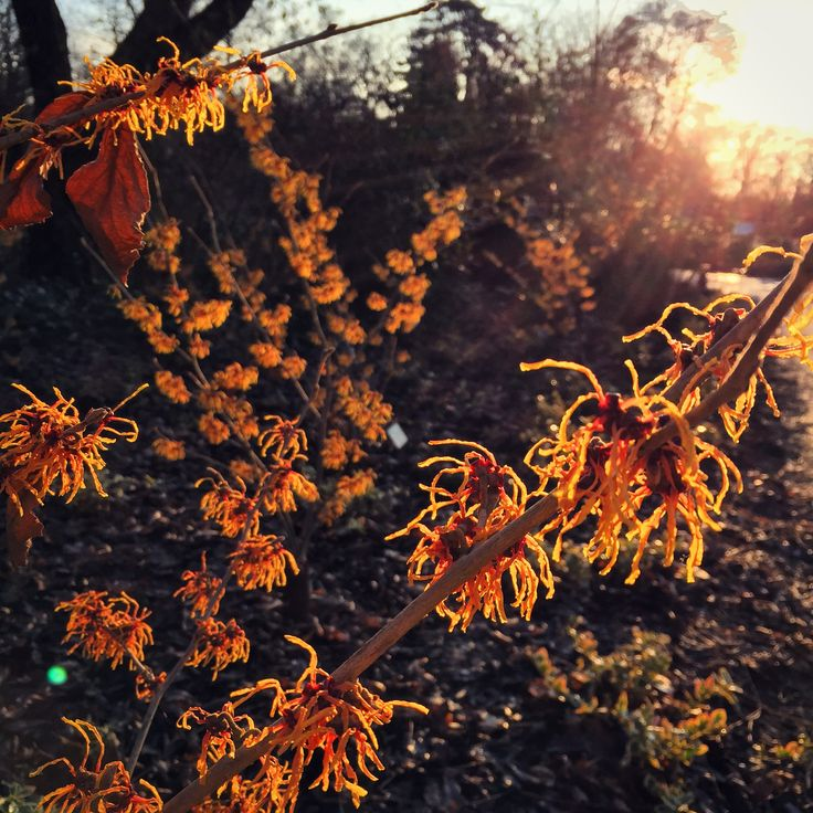 Hamamelis x Intermedia at Wisley #rhswisley #rhs #WinterColour #WinterGarden #hamamelis