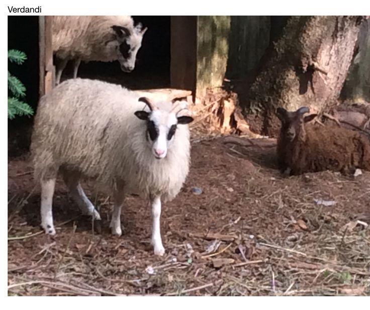 Verdandi: Icelandic sheep...ewe lamb July 2015
