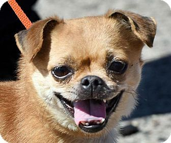 Best 25 Pug Chihuahua Mix Ideas On Pinterest Chug Dog