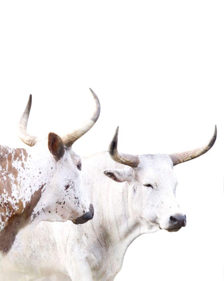 Kenyan cattle.