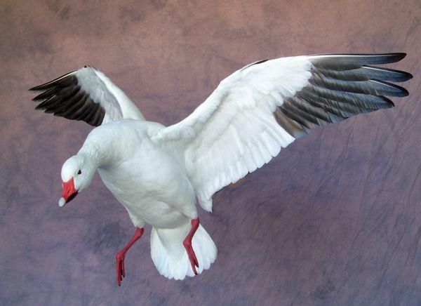 Snow Goose Taxidermy Mount
