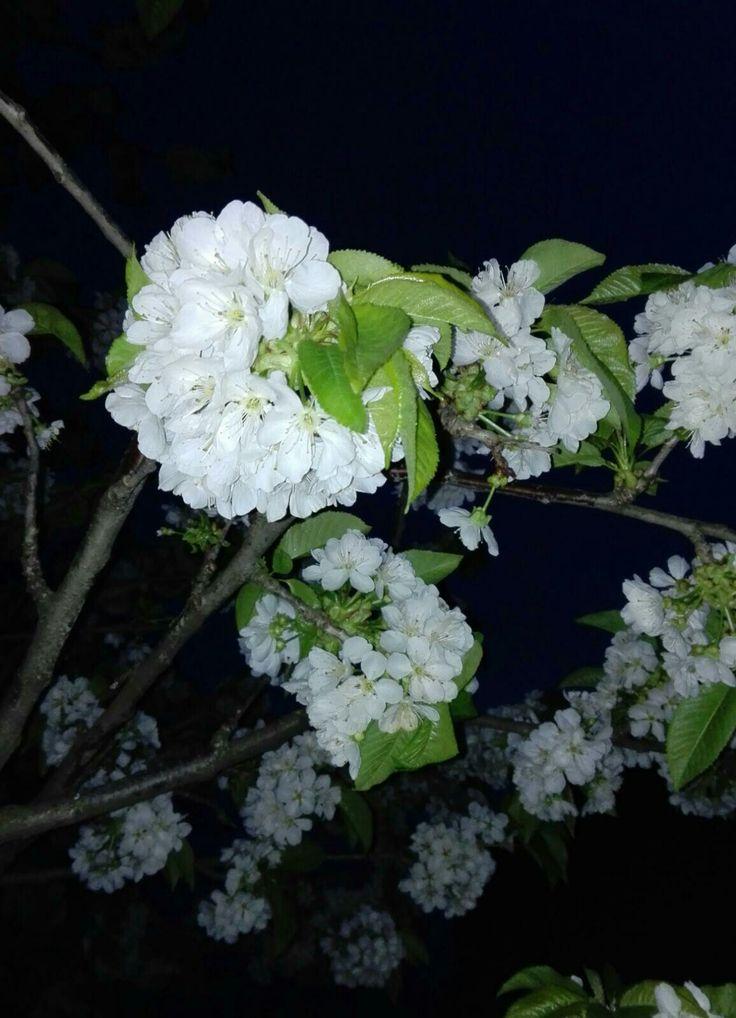 14.04.2018 – sweet cherry flowers