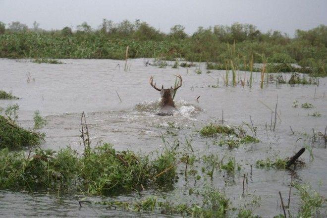 Mississippi river floods have put a damper on the area's deer #hunting. http://www.alloutdoor.com/2016/01/12/mississippi-river-flooding-halts-deer-hunts/