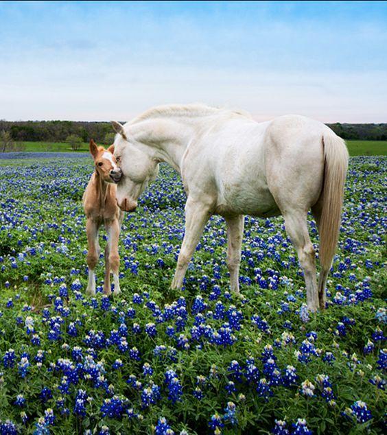 Bluebonnets & horses                                                                                                                                                                                 More