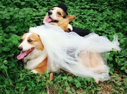When corgis get married. Too cute!