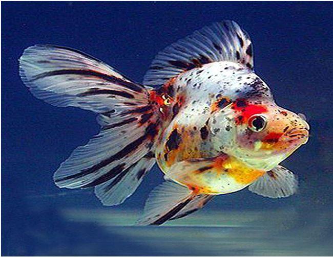 Ryukin Goldfish Assorted Colors Arizona Aquatic Gardens Ryukin Goldfish Goldfish Aquarium Goldfish