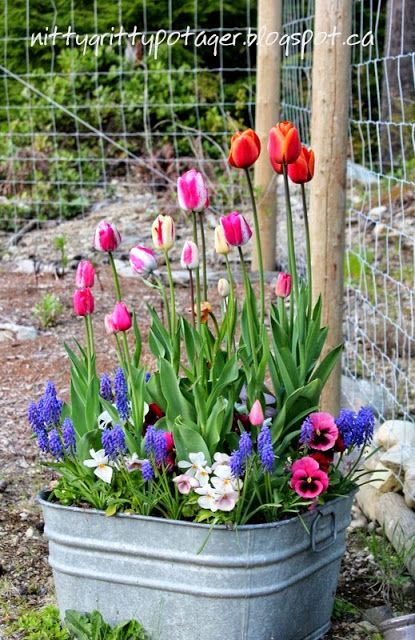 The Nitty Gritty Potager: Planting Spring flowering Bulbs in Containers