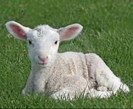 "Stop Cruel and Painful Lamb Mulesing ! PLEASE SIGN ! ! - Care2 News Network ~ Millions of sheep suffer the horrifying pain of mutilation known as ""mulesing"" every year. The unimaginable painful surgical proceedure involves cutting large strips of flesh from the hind legs of lambs who are about 4 weeks old- mulsing"