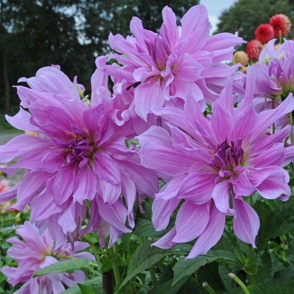 Die Dahlie 'Lavender Ruffles' blüht in magischem Lila. Pflanzzeit ist im Frühling. Erhältlich bei www.fluwel.de