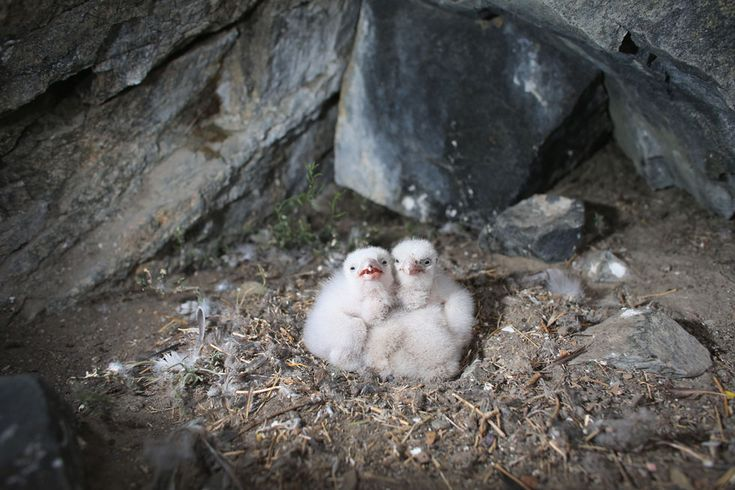 IlPost - Pulcini di falco pellegrino a Kangerlussuaq, Groenlandia J(oe Raedle/Getty Images) - Pulcini di falco pellegrino a Kangerlussuaq, Groenlandia J(oe Raedle/Getty Images)