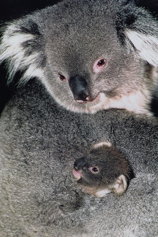 Koala cub in pouch. | ANIMAL CREATURES | Pinterest