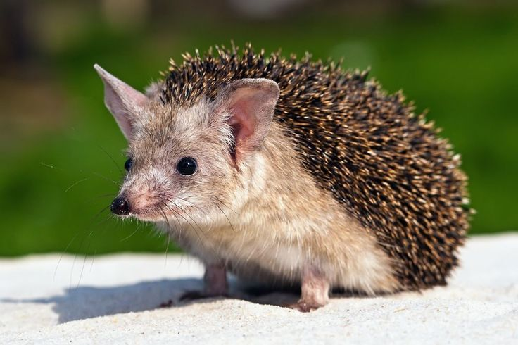 ~ Long-eared hedgehog (Hemiechinus auritus). This species is smaller in size than the common hedgehog, but can run much faster. These animals follow mainly their sense of hearing and smell, as their eyesight is quite poor.  Photo by Kefca | Shutterstock.com https://www.zooportraits.com/portraits/long-eared-hedgehog/