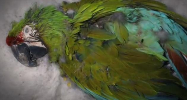 See How Quickly Flesh Eating Beetles Devour A Parrot (Video)