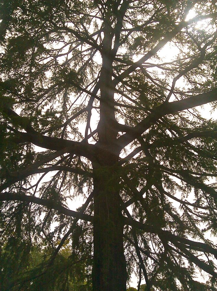 Deodar cedar tree in my front yard.