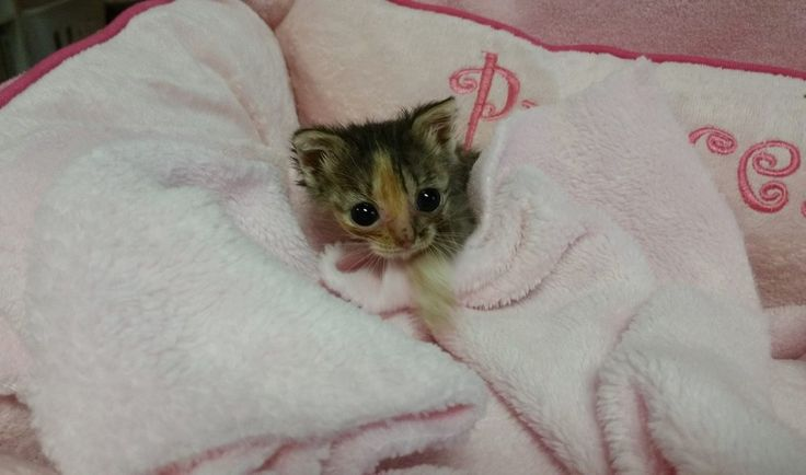 Here's the story of a little, really little kitten who had a chance for a new life and loving owners. Here's Bijou the micro kitty. This micro fur ball was just 48 hours old, when she g…