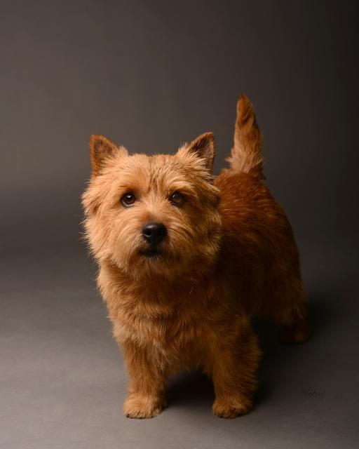 Norwich Terrier - Archie made it to the list!!!