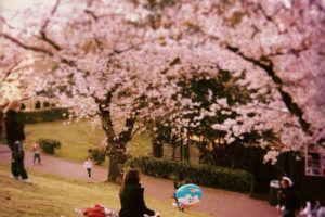 Foto_Hanami_parco_del_Lago_dell'EUR festa giapponese, ciliegi in fiore, reincarnarsi in un albero