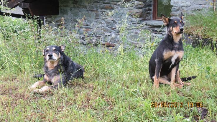 #rispettalanatura - Laika e Vento vigilano sulla mandria. Loc. Drole mt 1804 (Ayas)