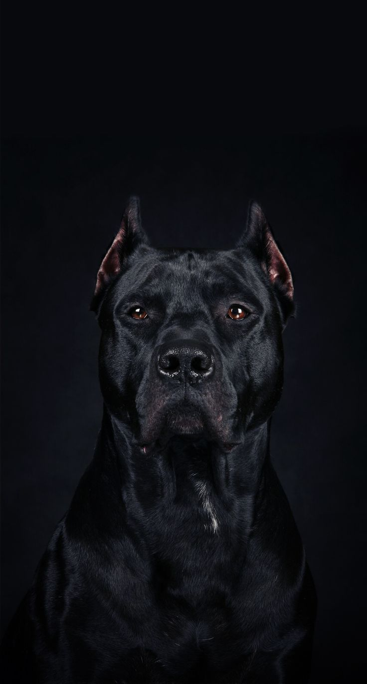 An. Amazing Protrait of A Cane Corso