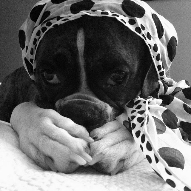 67 best boxer costumes images on pinterest boxer dogs boxer and boxers. Black Bedroom Furniture Sets. Home Design Ideas