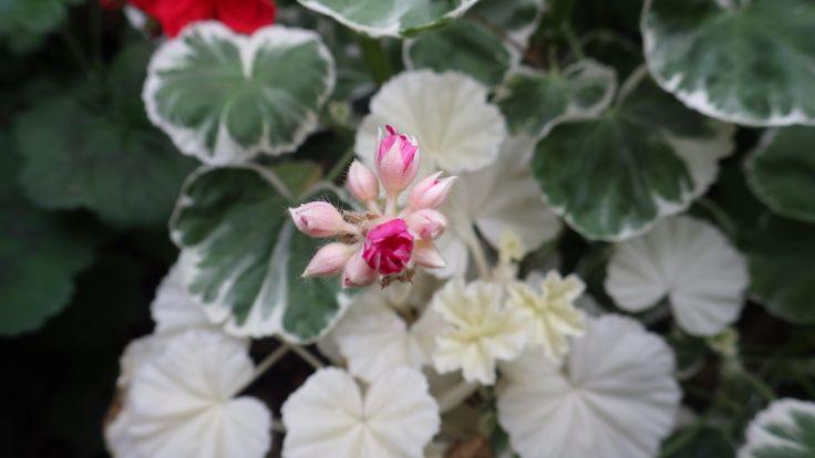 101 besten pelargonium bilder auf pinterest geranien blumengarten und exotische pflanzen. Black Bedroom Furniture Sets. Home Design Ideas