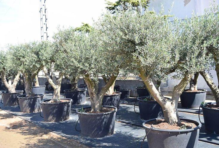 ¿Está buscando comprar un olivo ornamental de jardín? El Olivo Arbequina es la mejor opción para disfrutar de un árbol centenario monumental en casa.