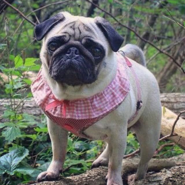 Puppia Pink Frill Vivian Harness Available At Www Ilovepugs Co Uk