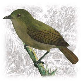 Flautim-Marrom (Schiffornis turdinus)