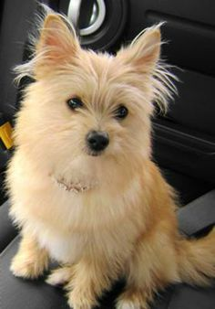 pomeranian and silky terrier mix - Google Search
