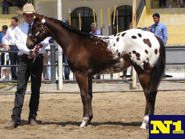 Appaloosa Horse Show N1cavalos cavalo Parque da Água Branca                                                                                                                                                                                 Mais