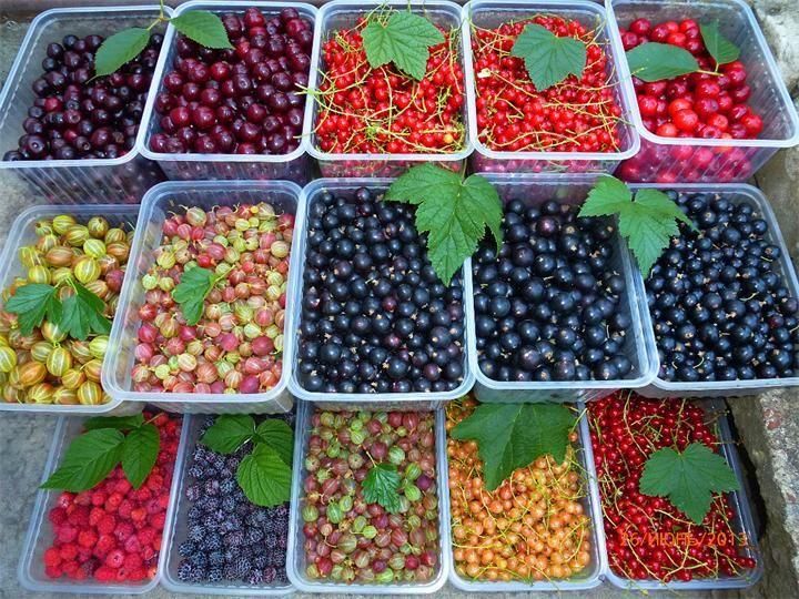 Разнообразие ягод Кусты голубики крупнее, чем у черники, вместе с багульником и болотным миртом образуют заросли. В США голубика введена в культуру. В диком виде встречается в тундрах Ев...