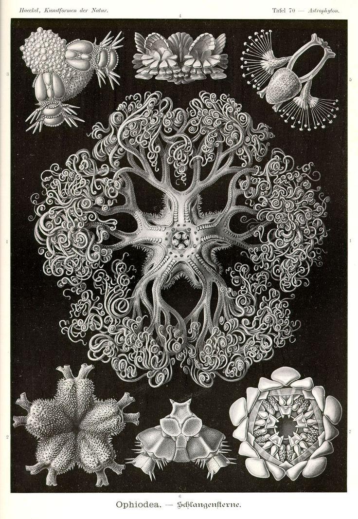 Ophiodea by Ernst Haeckel; Kunstformen der Natur, 1900