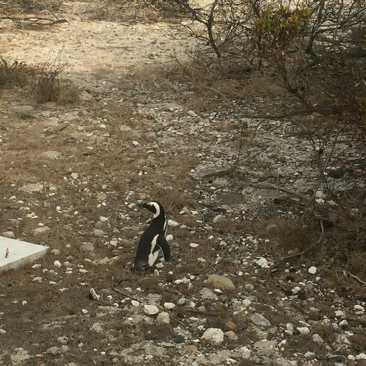 Penguin on Robben Island
