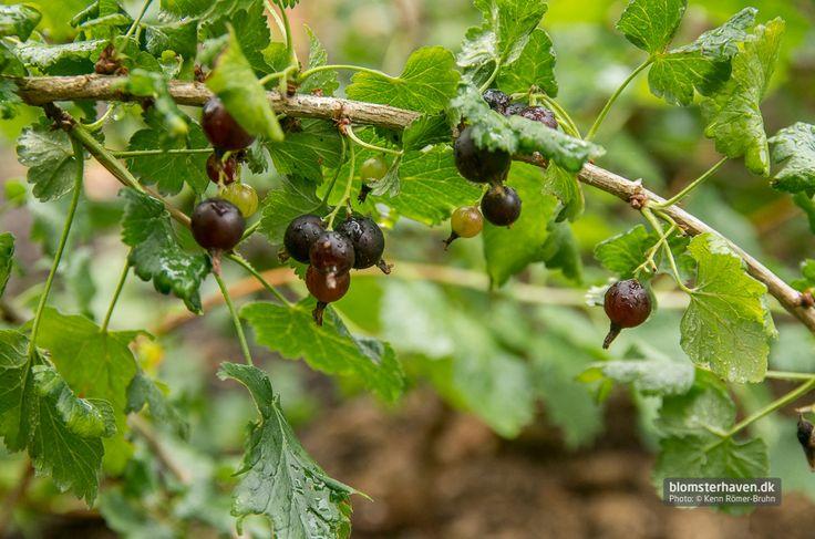 Josta berries from www.blomsterhaven.dk