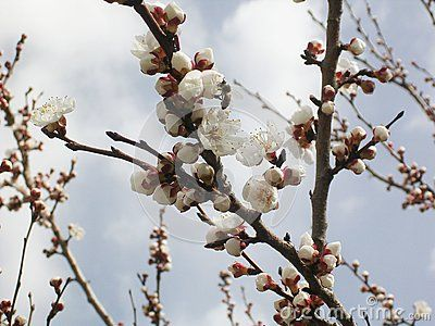 Flowering apricot tree, white flowers.nApricot trees of Central Asia. White flowers.Against the sky with clouds.