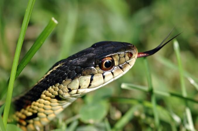 If You Are Like Some People Even Garden Snake Pictures Can Be Enough To Make Your Skin Crawl F Garden Snakes Garden Pests Identification Garden Pests Rodents