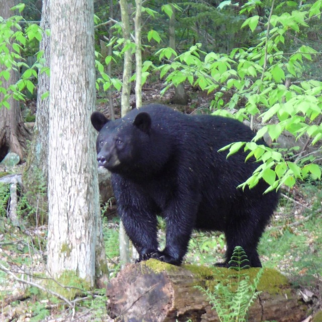 bear in our back yard near denton hill potter county pa pennsylvania pinterest the o 39 jays. Black Bedroom Furniture Sets. Home Design Ideas