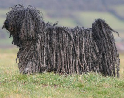 """One of the smartest of all breeds, supremely self-confident and self-possessed, the Puli is also one of the most demanding and manipulative, with (as one breeder puts it) """"a capacity for causing mischief that is truly awesome."""""""