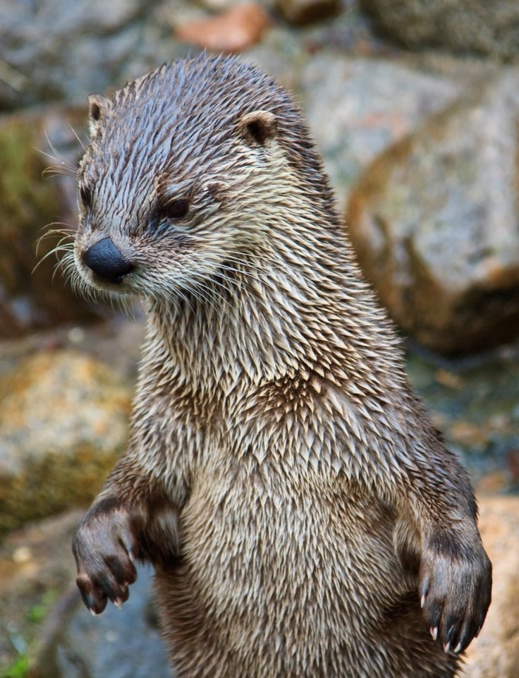 1000 Images About Sea Otter Love On Pinterest Baby Sea