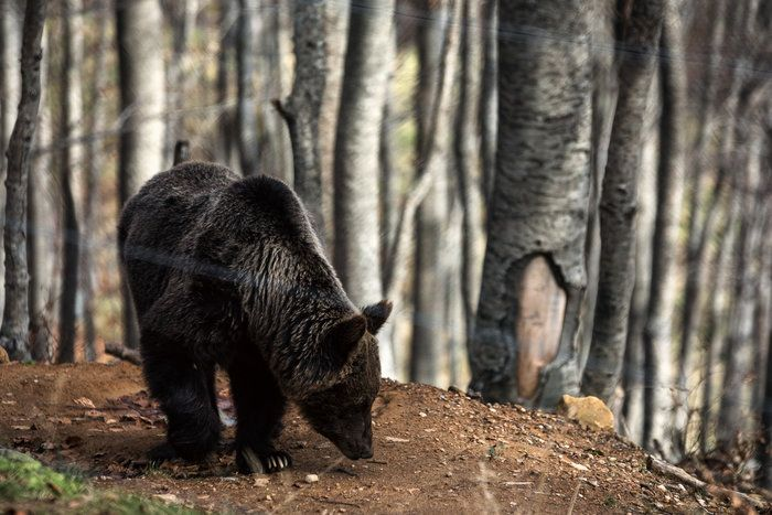Ερχεται η άνοιξη και ξυπνούν οι αρκούδες του Αρκτούρου  thetoc.gr