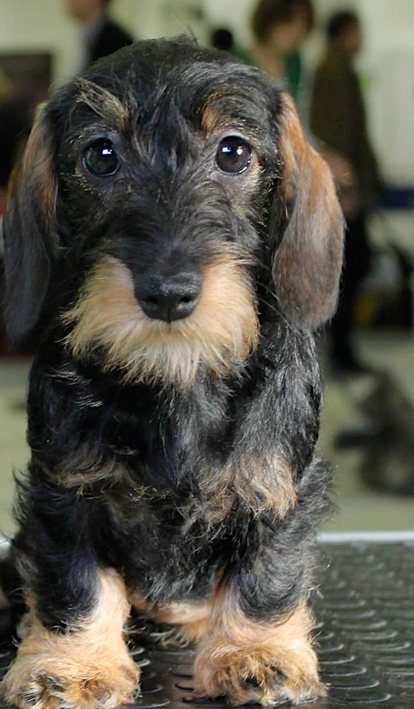 An actually pretty wirehaired dachshund. I don't normally like bearded dogs but this one's lovely. #dachshund