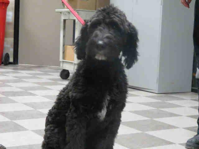 Goldendoodle dog for Adoption in Toronto, ON. ADN-476286 on PuppyFinder.com Gender: Male. Age: Baby