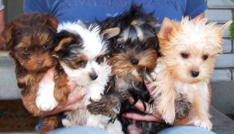 gold dust yorkies | Red River Kennels puppies...