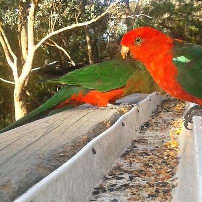this is my re-creation of Jason's parrots. the colour is what drew me to his photo so what I tried with mine was sharpen it and try to make the red and green stand out