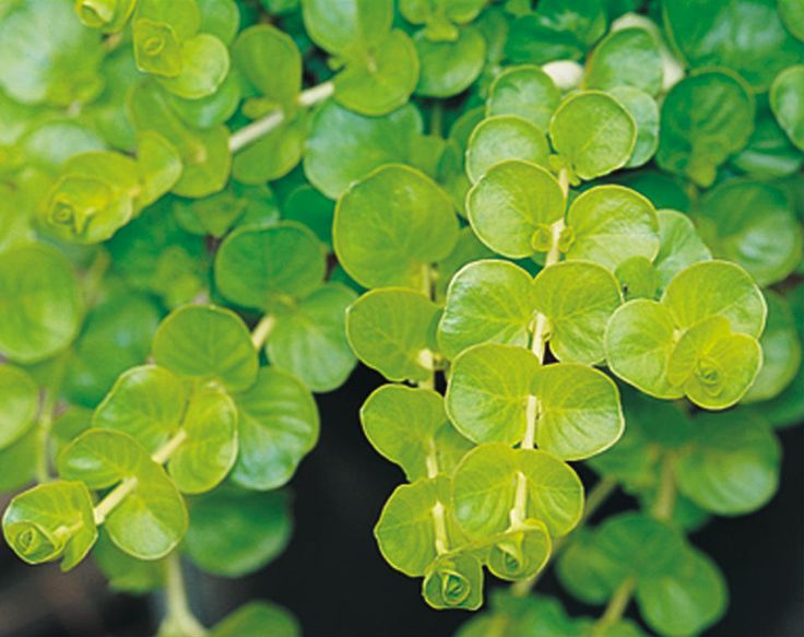 Creeping jenny; use as groundcover or for container pots.  Part-sun to sun.  Available at Navlet's.