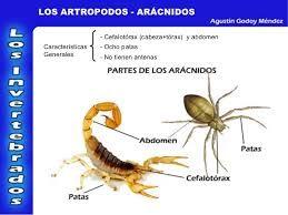 este es otro de los tipos de artropodos con sus caracteristicas